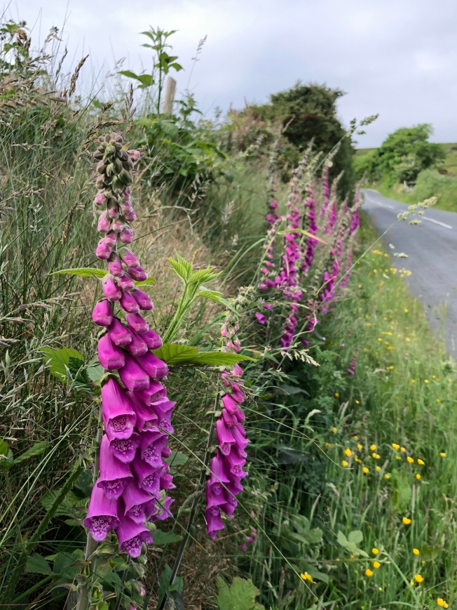 Foxgloves grow wild by the roadsides all over Donegal!