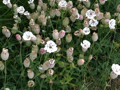 tiny little pink and white wildflowers, with the sweetest, oddest shape!